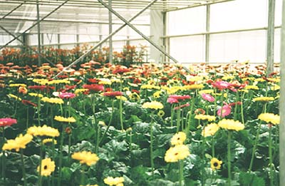gerbera production
